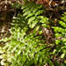 Woodwardia areolata (Netted Chain Fern)