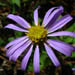 Symphyotrichum patens (Late Purple Aster)