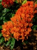 Asclepias tuberosa (Butterflyweed)